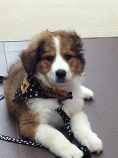 This Is Bolt Hes A St Bernardaustralian Shepherd Cross I Just