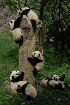 "officialbreeolson: ""a-night-in-wonderland: ""panda tree "" My heart is beating so fast. I love pandas. Kitties Owls Pandas Turtles I just love all animals k "" Pandamonium. Cute Baby Animals, Animals And Pets, Funny Animals, Baby Pandas, Panda Babies, Giant Pandas, Wild Animals, Party Animals, Red Pandas"