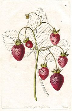 """Prolific Hautbois strawberry, Fragaria x ananassa. Handcoloured copperplate engraving by S. Watts from a botanical illustration by Augusta Withers from John Lindley's """"Pomological Magazine,"""" James Ridgway, London, 1828"""