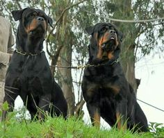 .Rotties... two is even better than one ; )