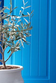 Blue door and olive tree, Santorini, Greece Santorini Island, Santorini Greece, Athens Greece, Corfu Greece, Cool Winter, Greek Blue, Himmelblau, Olive Tree, Greece Travel