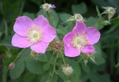 Rosa californica - Wikipedia