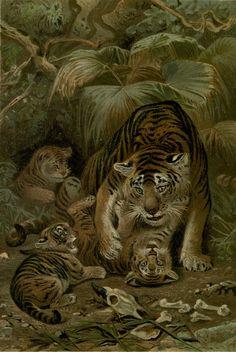 Royal Natural History 1893-1896 - Tigers. #vintage, #animals, #panthera tigris