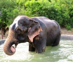 Raju the free elephant who 'cried' when rescued: May return to chains