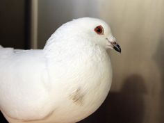 Meet Snow Cloud, Tag & Sheila. King Pigeons make great pets and companion birds. They are sweet, smart, calm, and full of personality. Come in and see Snow Cloud, Tag & Sheila at the shelter and see if these are the companions you have been waiting for and just did not know it yet.