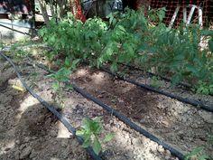 Pimientos y tomates en su 4a semana