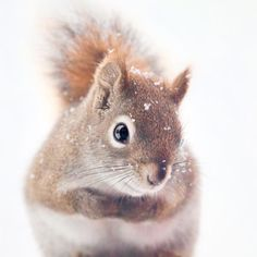 Red Squirrel in Snow - fine art photography print by Allison Trentelman | rockytopstudio.com