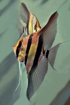 Aquarium Care for Freshwater Fish Tropical Freshwater Fish, Tropical Fish Aquarium, Freshwater Aquarium Fish, Saltwater Aquarium, Fish Ocean, Saltwater Tank, Aquariums, Discus Fish, Salt Water Fish