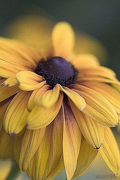 All things bright and beautiful.... — simply-beautiful-world:   Beautiful Black Eyed...