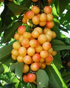Rainier Cherry Large, yellow with red blush. Sweet and flavorful. Very cold hardy. Pollenized by Van, Lambert, Lapins, Black Tartarian and Bing