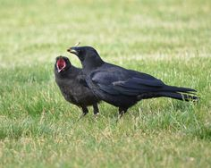 Gimme by ~Canislupuscorax  Photography / Animals, Plants & Nature / Birds©2012 ~Canislupuscorax  Adult and fledgling American crow (Corvus brachyrhynchos) on the grounds of Montana State University in Bozeman, MT.