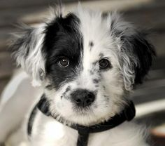 Buzz the Border Collie Dalmatian mix.