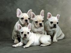 Cute French Bulldog Puppies .
