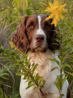 Informations About English Springer Spaniel in Field Photographic Print by Lynn M. Springer Spaniel Puppies, Spaniel Dog, English Springer Spaniels, English Spaniel, Spaniel Breeds, Chien Springer, Asian Dogs, English Dogs, Dog Organization