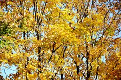 New print available on licensing.pixels.com! - 'Bright Colored Leaves On The Branches In The Autumn ' by Lanjee Chee - http://licensing.pixels.com/featured/bright-colored-leaves-on-the-branches-in-the-autumn-lanjee-chee.html via @fineartamerica