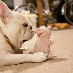 """""""I'm gettin' real tired of your shenanigans Piggy"""", French bulldog"""