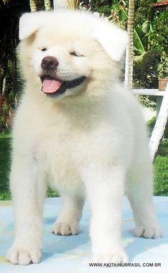 Lindo akita inu branco ainda filhote, de: http://www.akitainubrasil.com.br