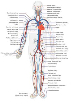 Explore the anatomy of the human cardiovascular system (also known as the circulatory system) with our detailed diagrams and information. Subclavian Artery, Internal Carotid Artery, Human Body Activities, Physical Activities, Arteries And Veins, Human Body Anatomy, Liver Anatomy, Arteries Anatomy, Gross Anatomy