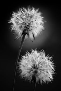 Dandelions by `homedoggieo. S)