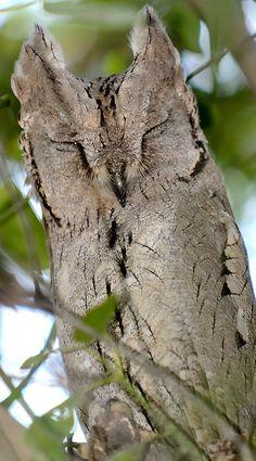 Napping Pallid Scops Owl by Yogesh Bhandarkar