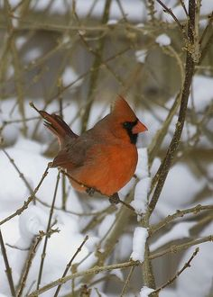 cardinal in snow | Flickr - Photo Sharing!