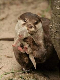 momma and baby otters