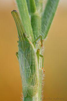 Grass-planthopper