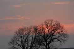 The blooming oak at sunset
