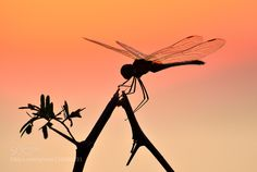 Dragonfly and sunset by salinastur