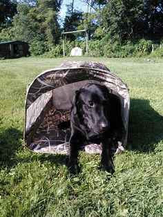 Ammo checking out his new blind. #waterfowlhunting #goosehunting