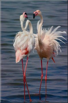 The Greater Flamingo - Phoenicopterus roseus, is the most widespread species of the flamingo family. It is found in parts of Africa, southern Asia, coastal regions of Pakistan and India and southern Europe. outdoorphoto,co.za