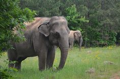 Winkie (foreground) and Sissy - at the Elephant Sanctuary in Tennessee. I wanna go!
