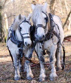 Training was led by Robert Sampson of Harbridge Working Percherons - a New Forest company ...