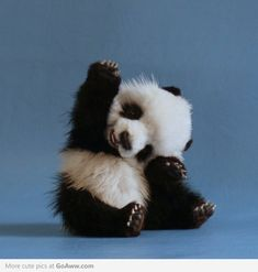 """ Panda: ""I know!"" Panda: ""I know!"" Panda: ""I know! Baby Animals Pictures, Cute Baby Animals, Animals And Pets, Baby Pandas, Animal Pics, Wild Animals, Animal Fun, Images Of Cute Animals, Cute Images"