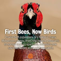 Prairie bird populations are falling in many Midwestern states, from ring-necked pheasants to horned larks to sparrows. Scientists now say insecticides are a primary culprit. More here: http://www.cornucopia.org/2014/06/first-bees-now-birds #birds #savethebees #humanhealth #food The Cornucopia Institute