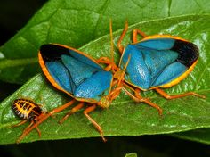 Shield bugs and nymph