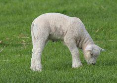 Wypas owiec Józefów: http://puszystaowca.pl/wypas-owiec-jozefow/