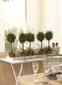 angel vine topiary | houseplants