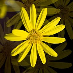 Daisy Burst: ©Jim Charnon Photography;  All Rights Reserved
