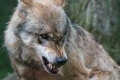 https://flic.kr/p/KMVkFJ | Wolfcenter. Dörverden.