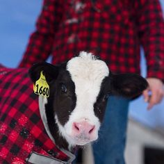 Aren't #cabotcows in #cabotplaid just the cutest? #Cabotcheese