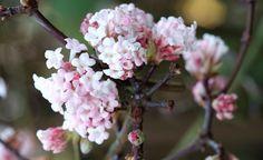 Ziersträucher, die im Winter blühen - Im Winter offenbart der Blick aus dem Küchenfenster oft nur graue Tristesse. Diese winterblühenden Ziersträucher bringen Farbe in den Garten.