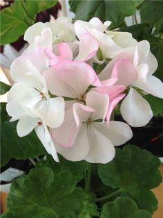 Geranium kasvi - Ingegerd alkaen Orustin