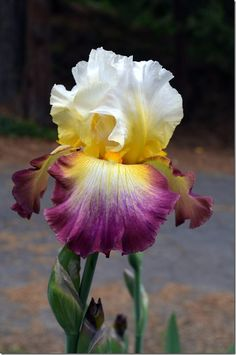 "STARSHIP ENTERPRISE -- TB iris, mid to late bloom, 36"", white standards surrounded with rosy magenta ringed falls, with golden beards and midribs and stylearms."