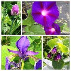 Purple Garden Flower; Ipomoea, Iris, Cerinthe Major Purp. and Bieslook.