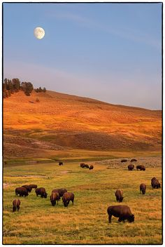 Bison grazing on hill at Hayden Valley, Moonrise, Yellowstone National Park, WY
