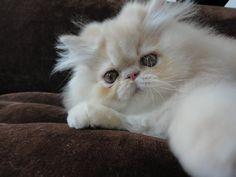 Cream Tabby Persa