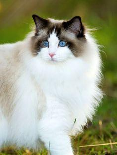 Рэгдолл (фото): порода добродушных кошачьих гигантов из Америки Смотри больше http://kot-pes.com/regdoll-foto-poroda-dobrodushnyx-koshachix-gigantov-iz-ameriki/
