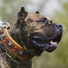 Presa canario dog collar