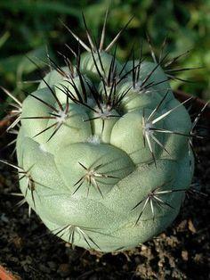 Ortegocactus macdougallii → Plant characteristics and more photos at: http://www.worldofsucculents.com/?p=4646